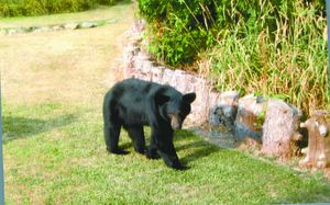 The appearance of a black bear in Hudson on Friday the 13th inspired a range of responses -- from humorous to serious concern -- on the Hudson Hub-Times Facebook page.