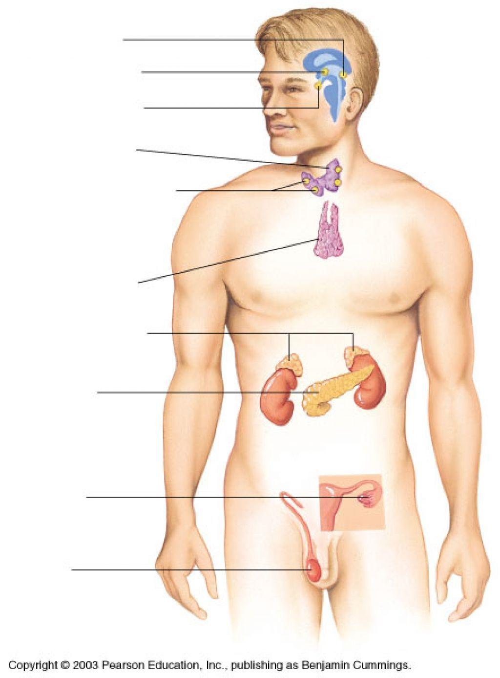Endocrine System Diagram Unlabeled