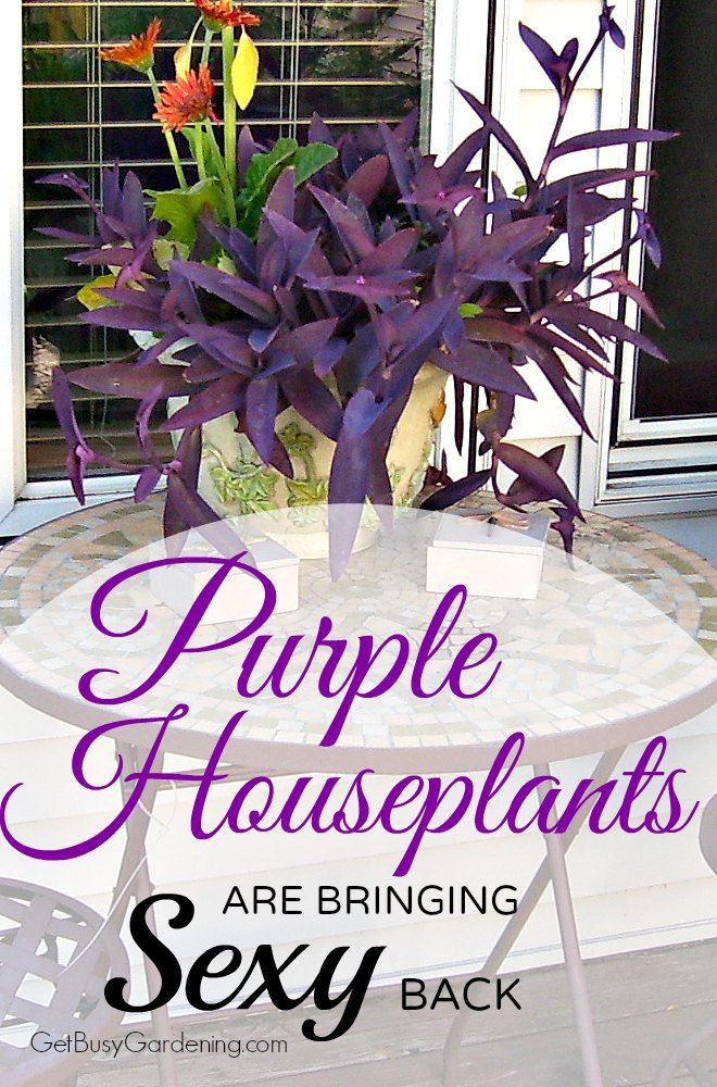 17 Beautiful Purple Houseplants | Plants, Purple plants ... on florida plants with red leaves, house plants with bronze leaves, perennial plants with purple leaves, house plants with small leaves, wandering jew with fuzzy leaves, poisonous plants with purple leaves, house with red flowers, house plant rubber plant, house plants with waxy red blooms, house plant purple heart, purple house plant fuzzy leaves, house plants with dark red leaves, house plants with colorful leaves, house plants and their names, olive tree green leaves, house plants with shiny leaves, tomato plants with purple leaves, purple foliage plants with leaves, house plants with light green leaves, house plants with long green leaves,