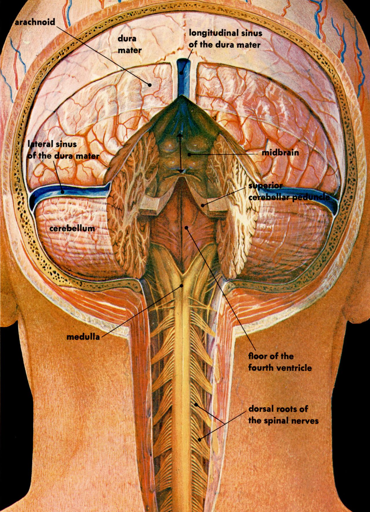 Cross section illustration of the posterior brain | SNC Inglés ...