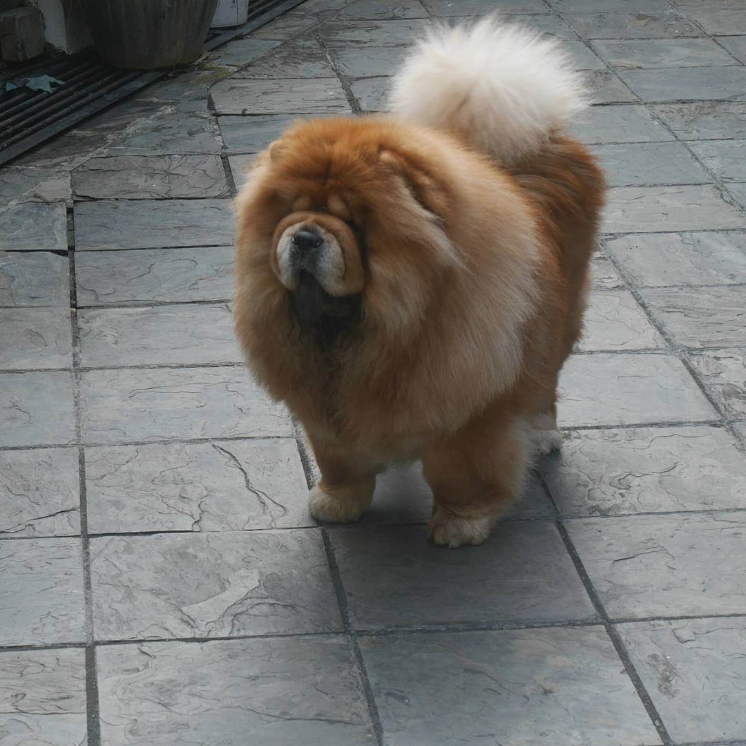 Now Almost 2 Yrs Old Chinese Dog Chow Chow Puppy Chow Chow Dogs