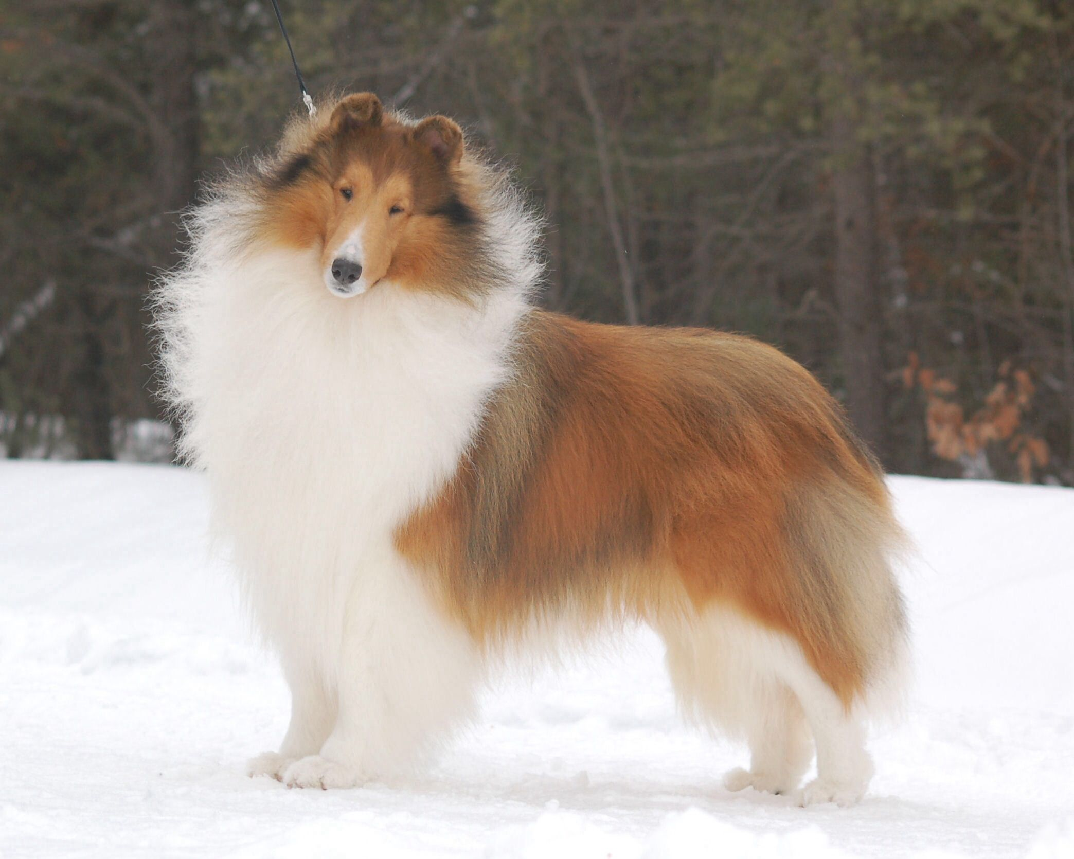 Sable Rough Coat Collie Waiting For Available Puppies Now