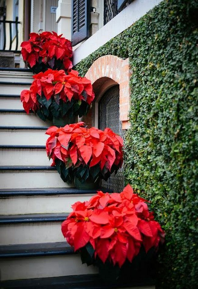 40+ Poinsettia Plant Decor Front Porches_640+ Poinsettia Plant Decor Front  Porches_6