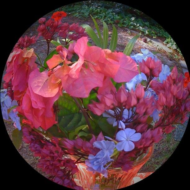 Fish-eye flowers. Bougainvillea, Plumbago, and Fuchsia by jerseygirlinfl