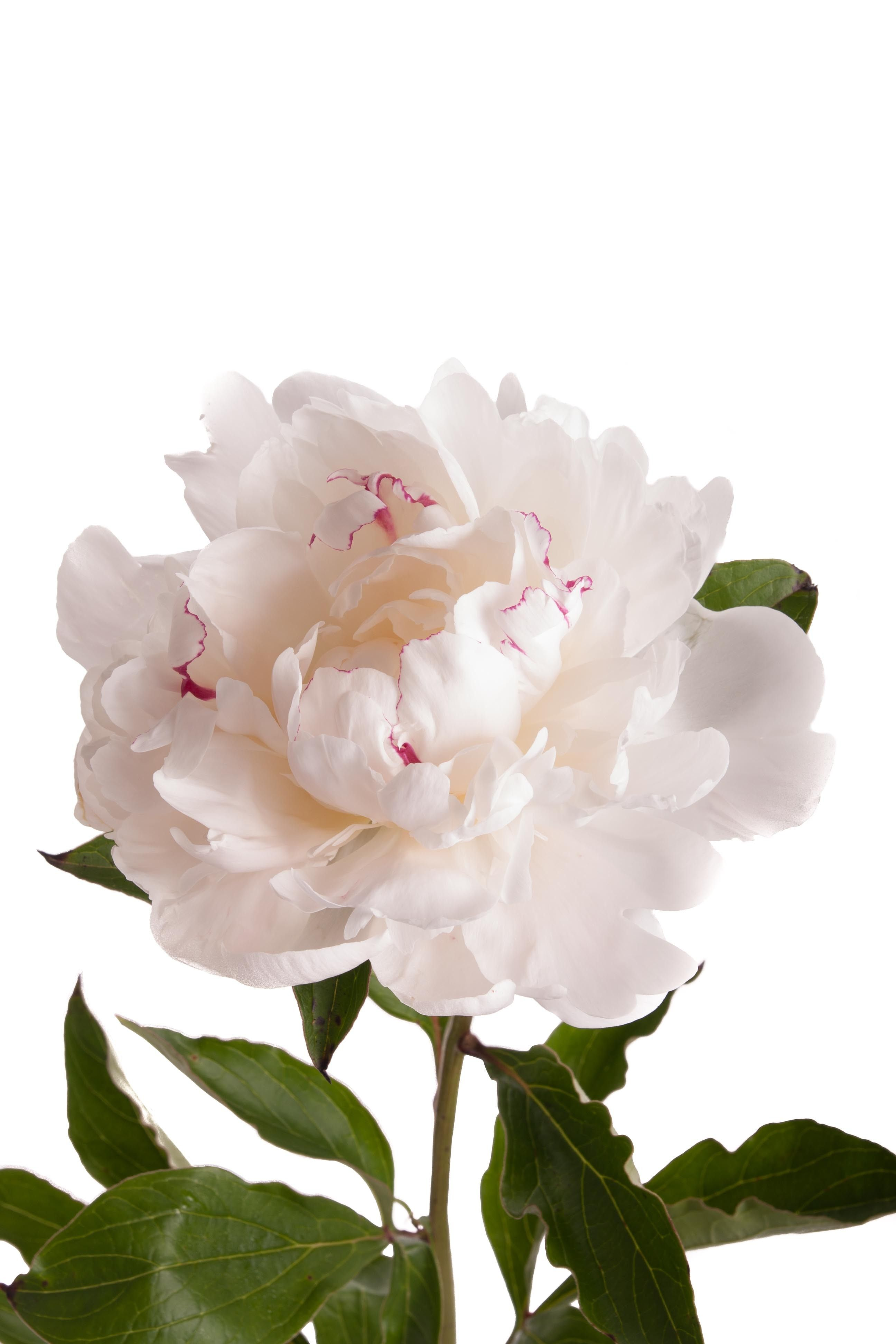 White with Red Peonies Peonies Types of Flowers