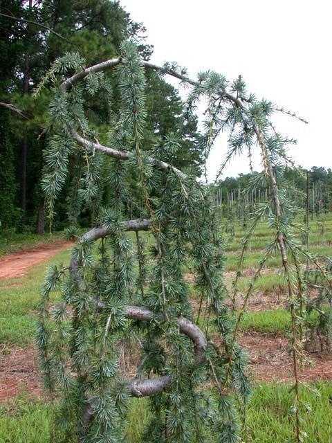 Serpentine Weeping Blue Atlas Cedar Bing Images