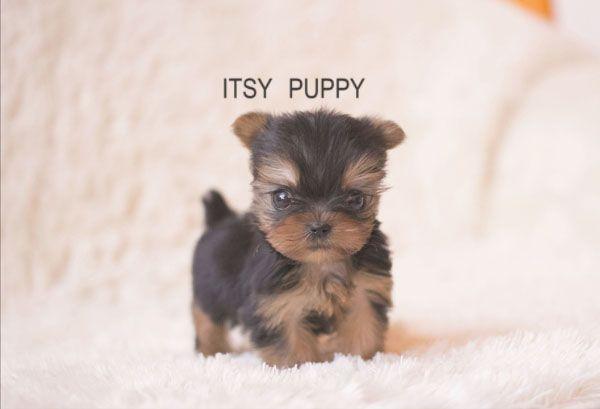 Micro Teacup Pomeranian Full Grown Google Search Puppies C