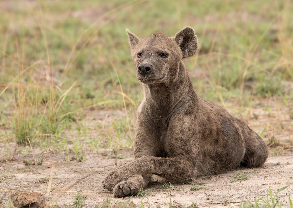 Resting Hyena, Wild dogs, Spirit animal