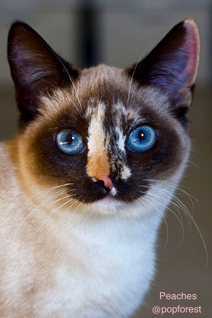 Meet Peaches My Rescue Cat She Is A Very Small Tortie Point Siamese She Likes To Help Me In My Art Studio To See More Fuzzy Peache Cat Love Cats Calico