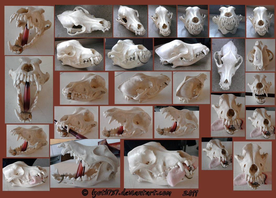 Grey Wolf Skull for artistic reference. Just a note, grey wolves are not endangered. Download for full size