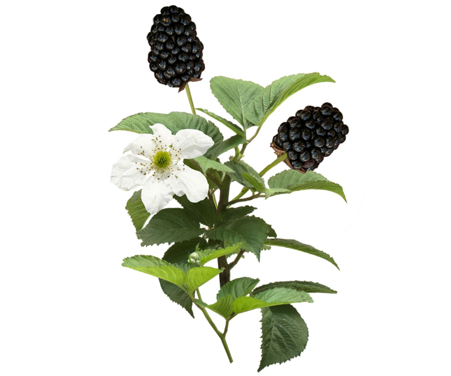 10++ Baby cakes blackberry bushes ideas in 2021