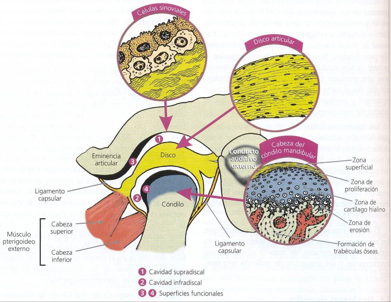 Articulación temporo-mandibular   ATM   Pinterest   Cráneo humano ...