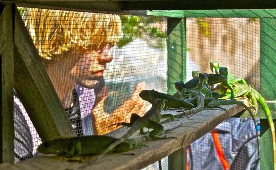 Kekoldi Indigenous Reserve Green Iguana Re-Introduction Program