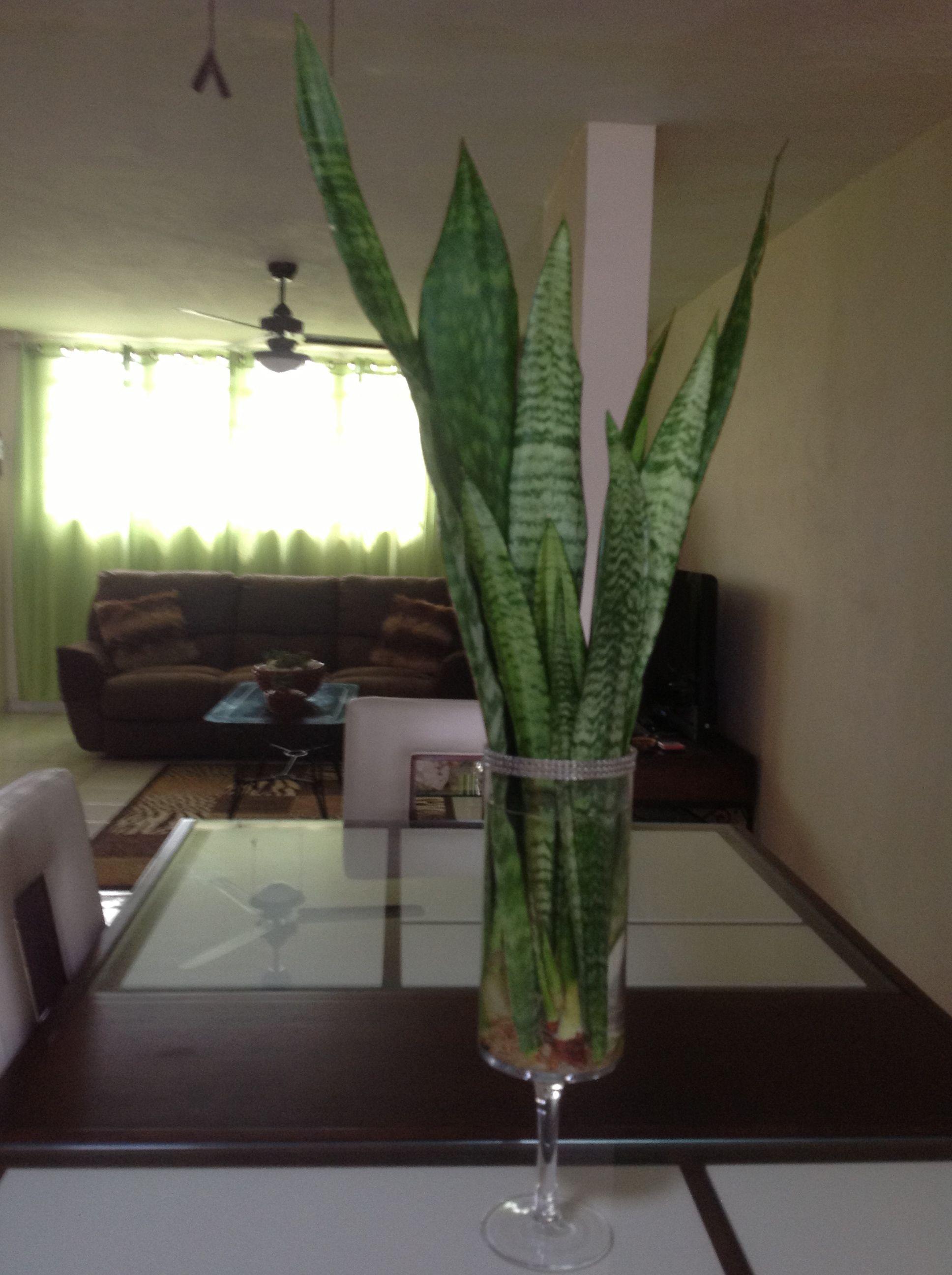 coloca estas hojas de esta planta en un florero con agua y