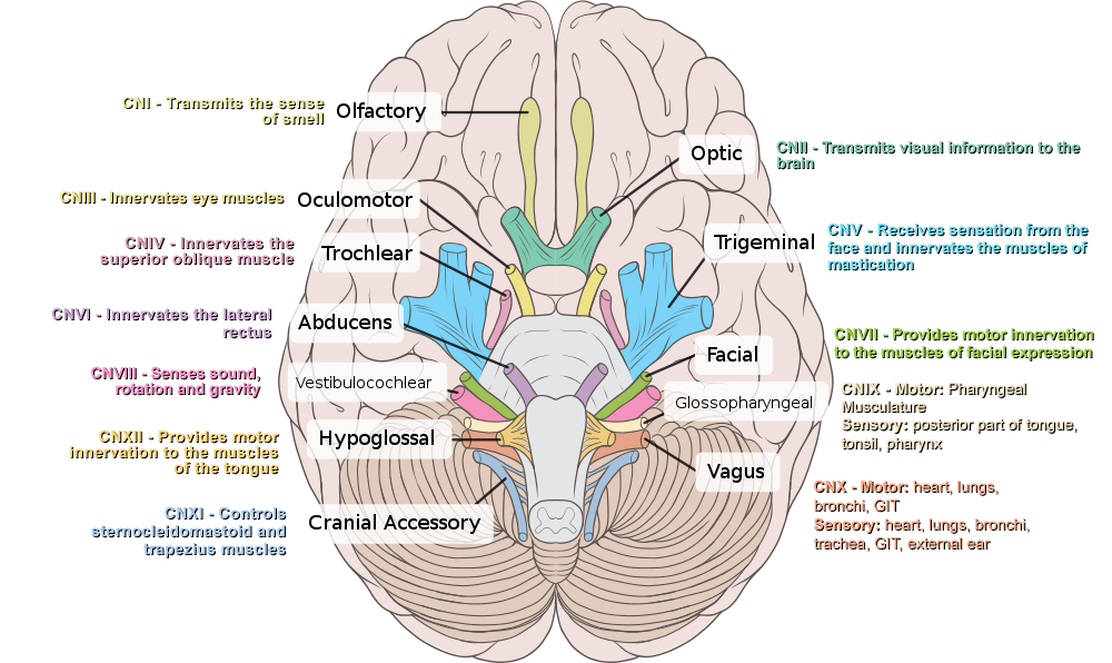 Click This Image To Show The Full Size Version Cranial Nerves Cranial Nerves Mnemonic Nerve Anatomy