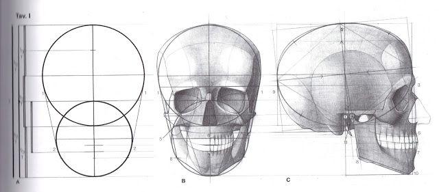 skull proportions | Kopf zeichnen, Anatomie, Character-design