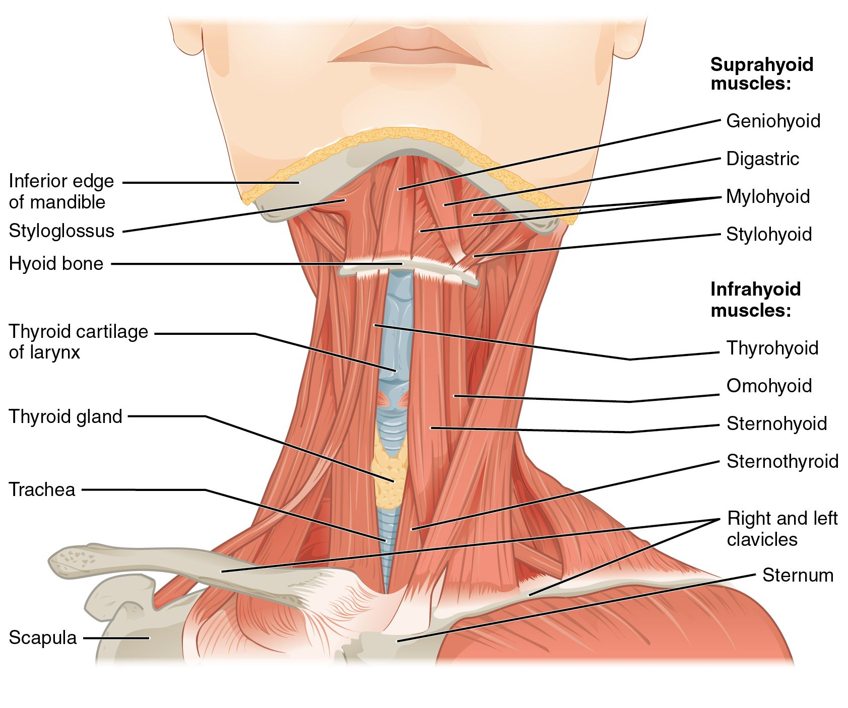 Skeletal Anatomy Coloring Pages Showing Also Hyoid Bone This