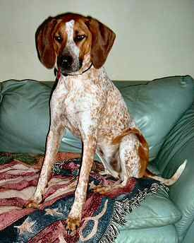Red Tick Coonhound Southeast Bloodhound Rescue Inc Red Tick