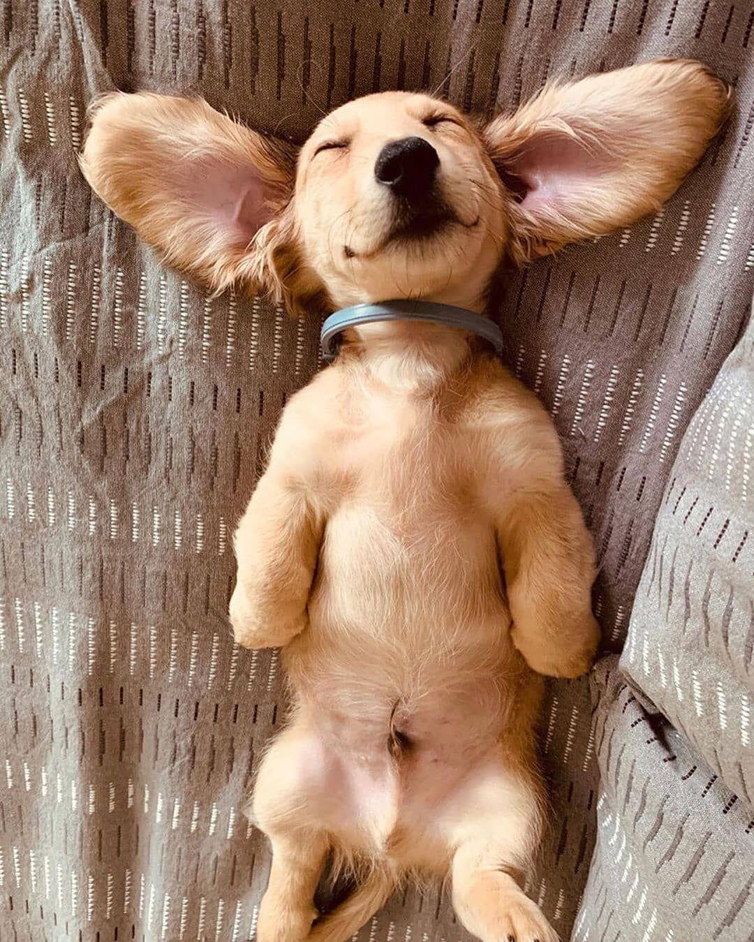Cute Dachshund Puppy In 2020 Cute Baby Animals Cute Animals Relaxed Dog