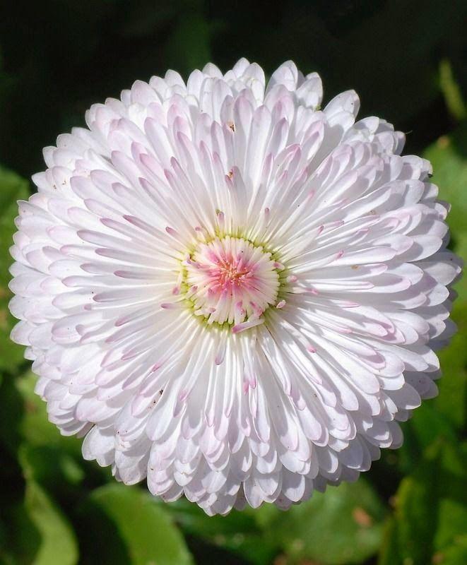 English Daisy Beautiful Flowers And Gardens Beautiful Flowers Bellis Perennis Amazing Flowers