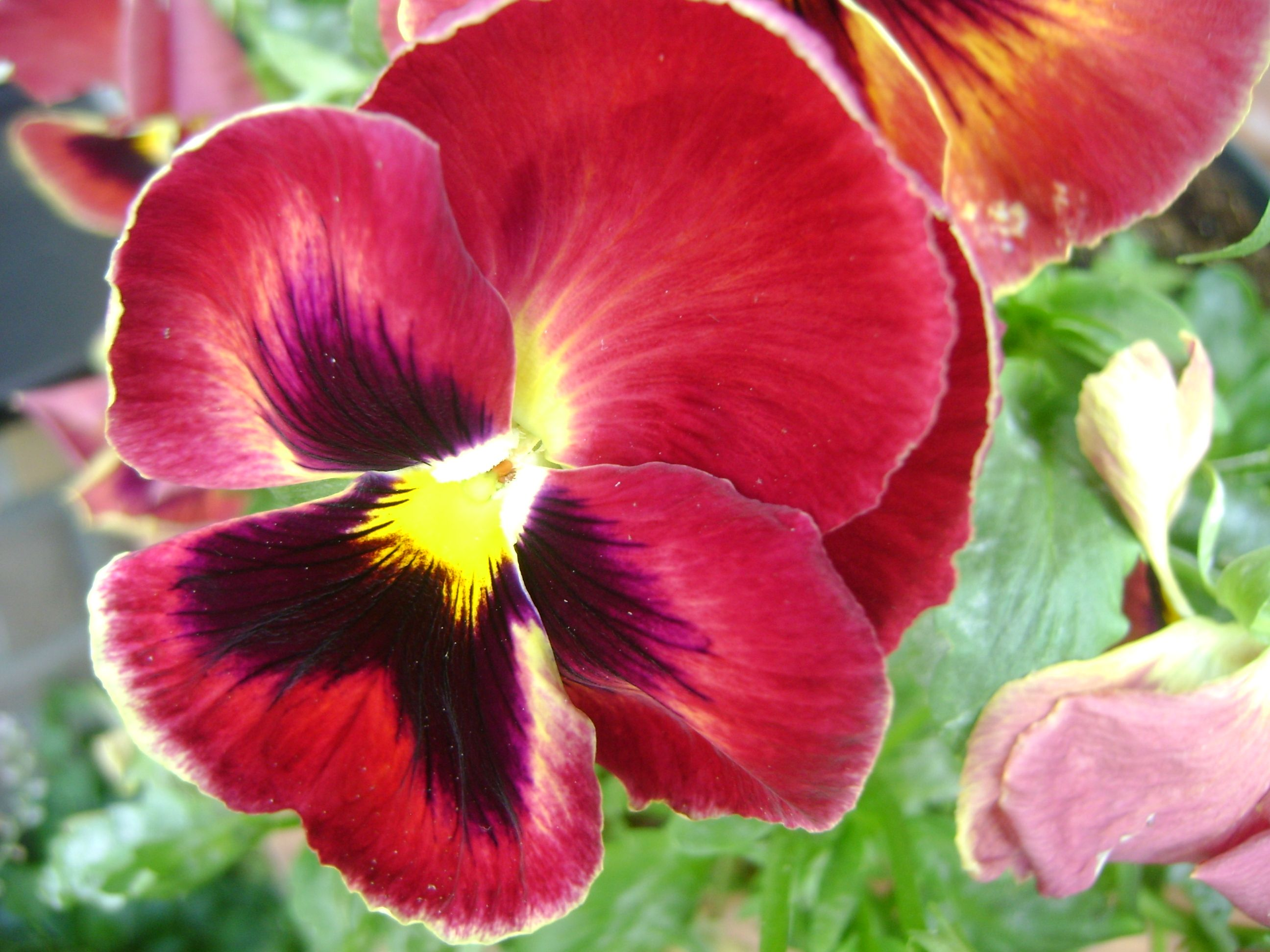 Pin By Siny Hofstee On Flowers My Own Photographs Flowers Pansies Rose
