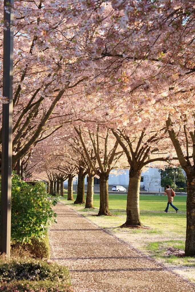 Cherry Blossoms Oregon Travel Beautiful Places Salem Oregon