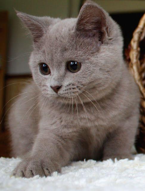 Britisch Kurzhaar Mit Bildern Britisch Kurzhaar Baby Katzen