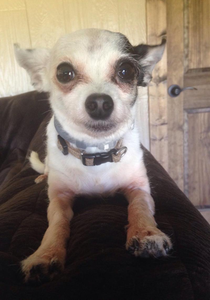 I Found Peppi On Chihuahua Dogs Chihuahua Adoption