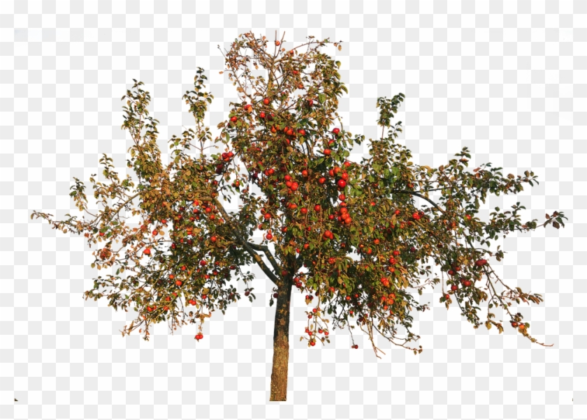 Transparent Apple Trees Apple Tree In Autumn Hd Png Download Apple Tree Tree Psd Fruit Trees
