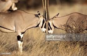 Bildergebnis für oryx