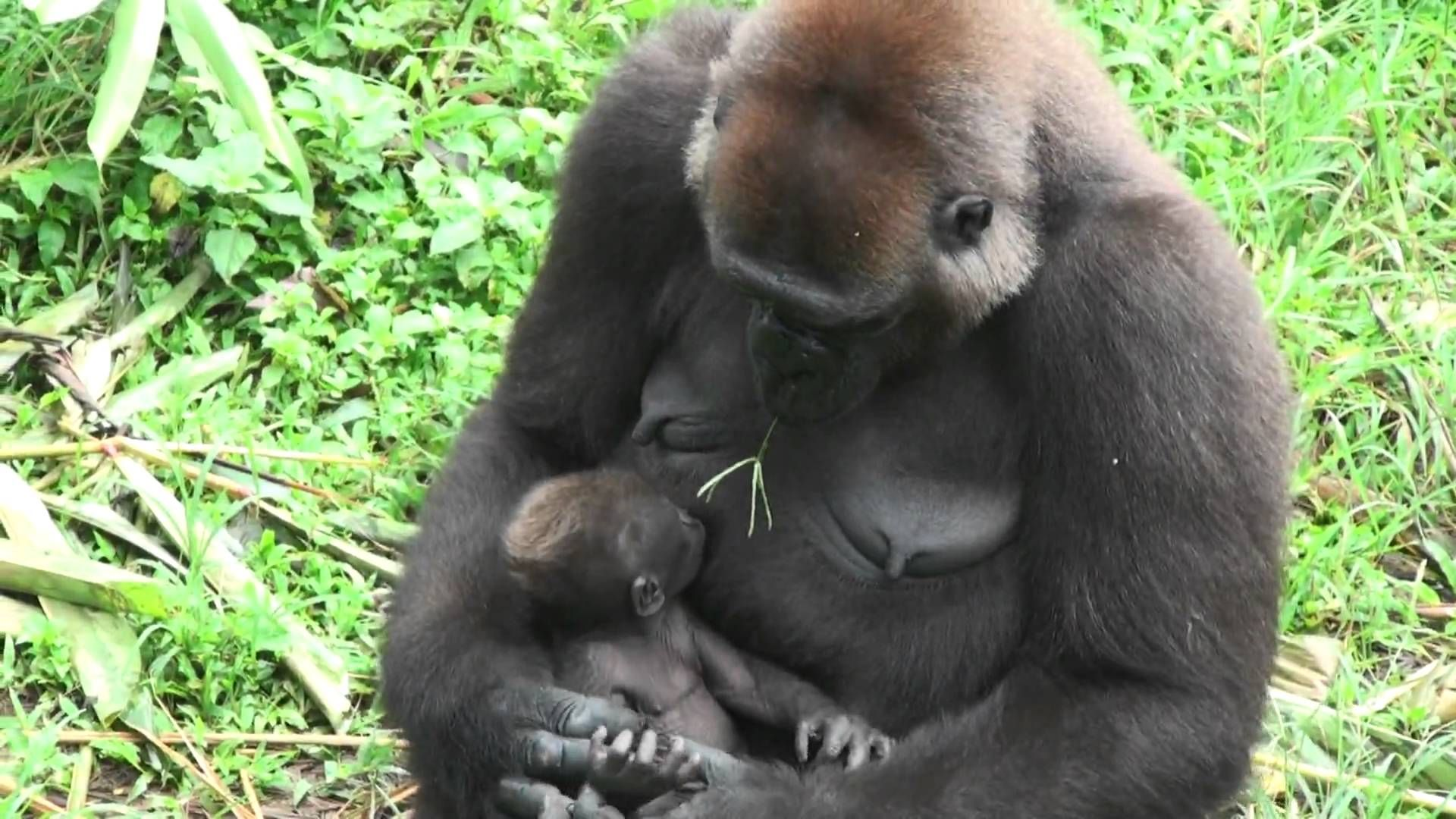 gorilla mums learnin rolo vids pinterest