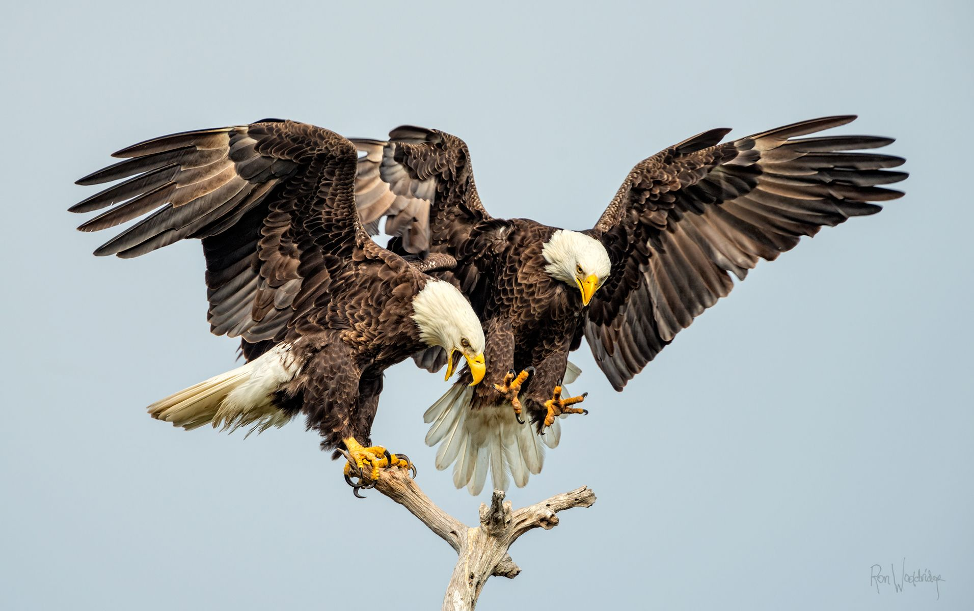 Birds Ron Wooldridge Photography Florida Back Country Nature Wildlife Water Photographer Wildlife Birds Bald Eagle
