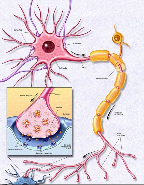 Diagram Of A Neuron Ptc Neuro Balance Love Pinterest Brain