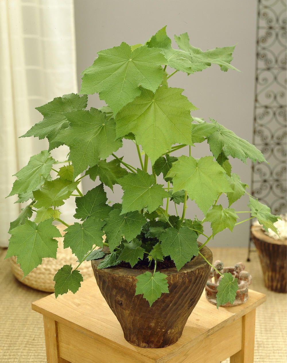 Zimmerlinde Garten Zimmerlinde Zimmerpflanzen Und Pflanzen Pflege