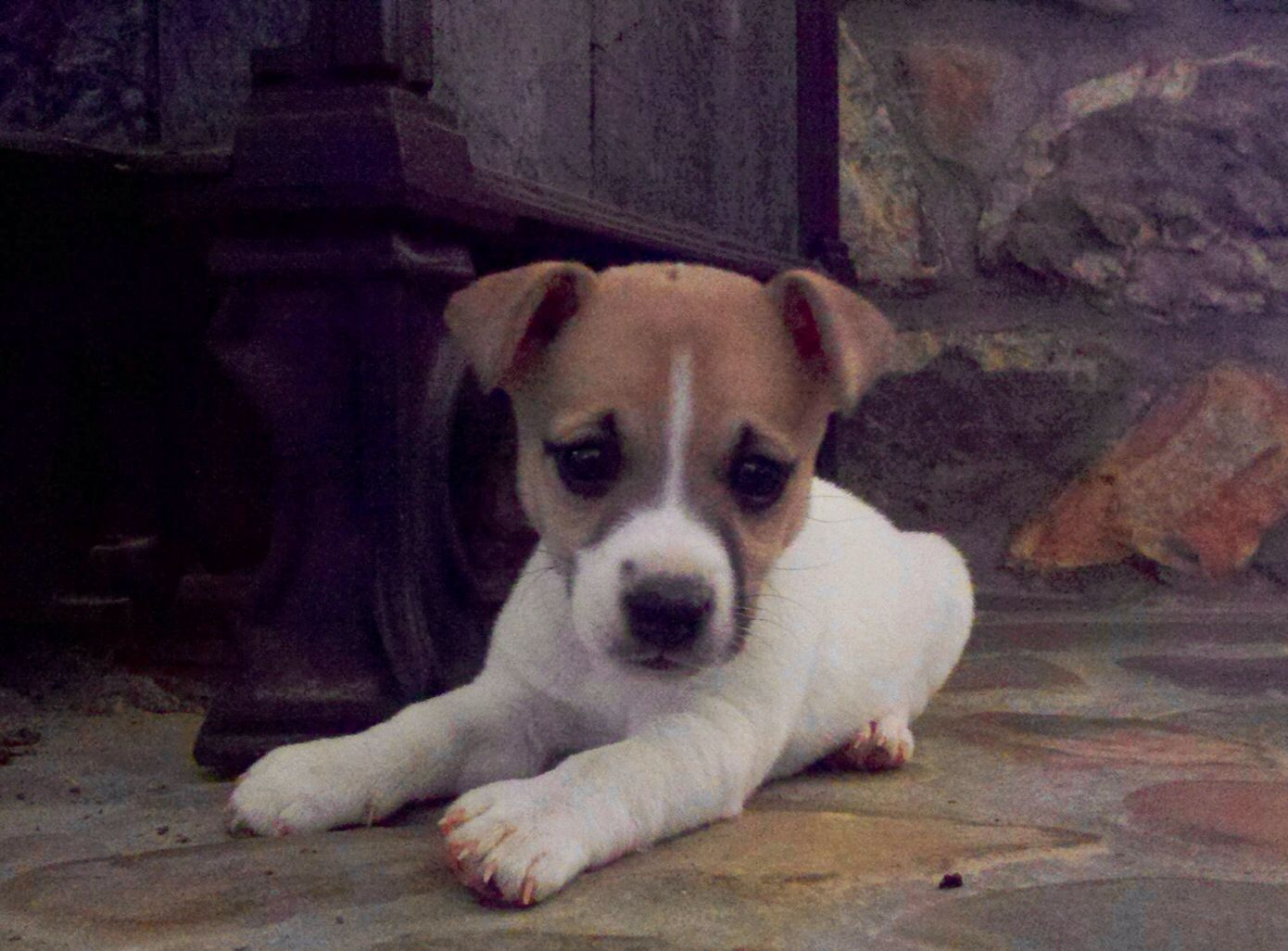 Murphy jack russell puppy jack russell puppies jack
