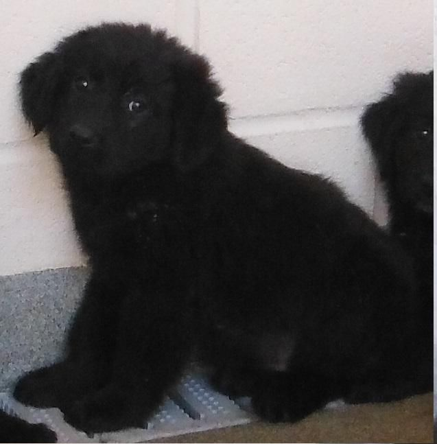 Availabke for adoption NOW! Abiout 8 weeks old. There are 4 males and 4 females. 2 of the females are brown. Pretty pups! *****URGENT*****This shelter is NOT a no-kill facility. If you are interested, please act quickly. We must have commitment...