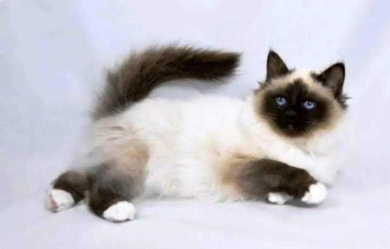 Kucing Persia Himalaya Felis Catus Kucing Persia Kucing Kucing Siam