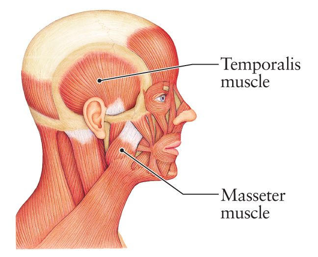 Elevates The Mouth Closes Very Powerful Muscle Masseter Muscle