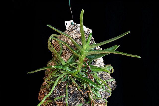 Angraecum rutenbergianum   Flickr - Photo Sharing!
