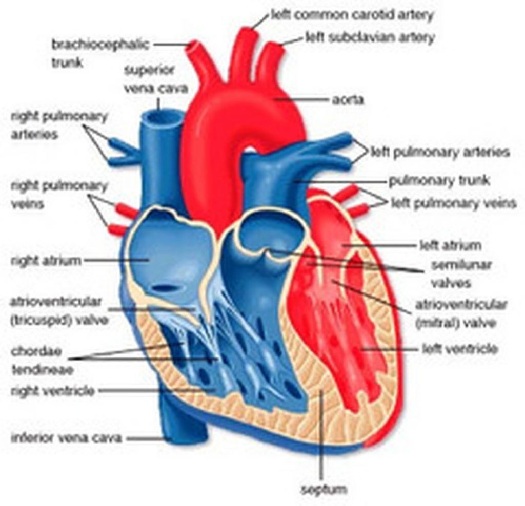Human Heart Labeled Diagram The Human Heart Diagram Labeled - Human ...