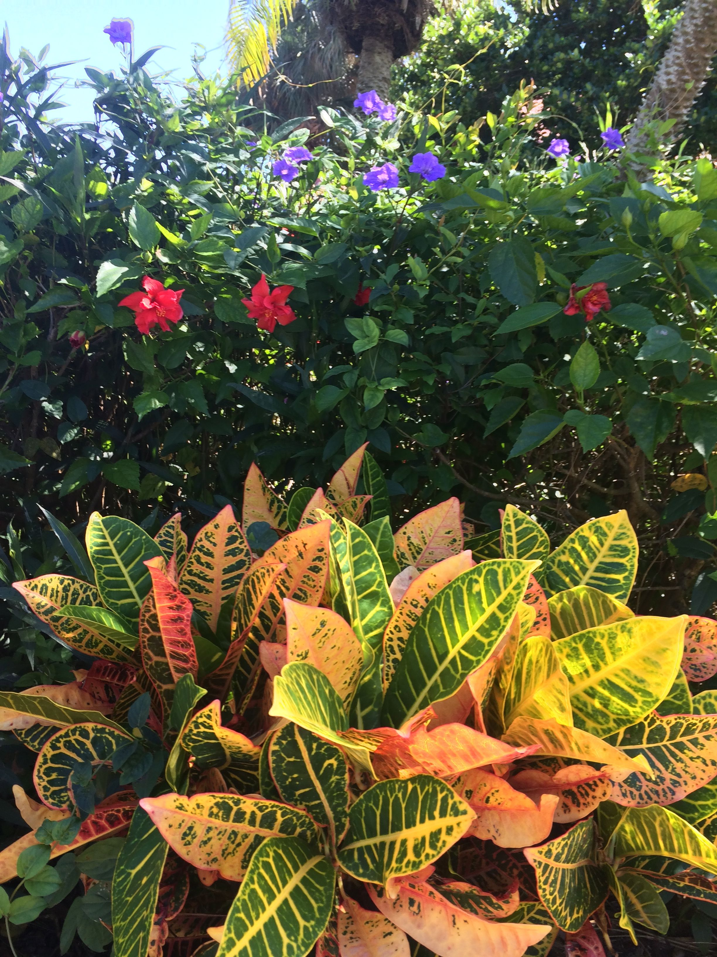 Crotons Red Hibiscus And Purple Mexican Bluebell In The