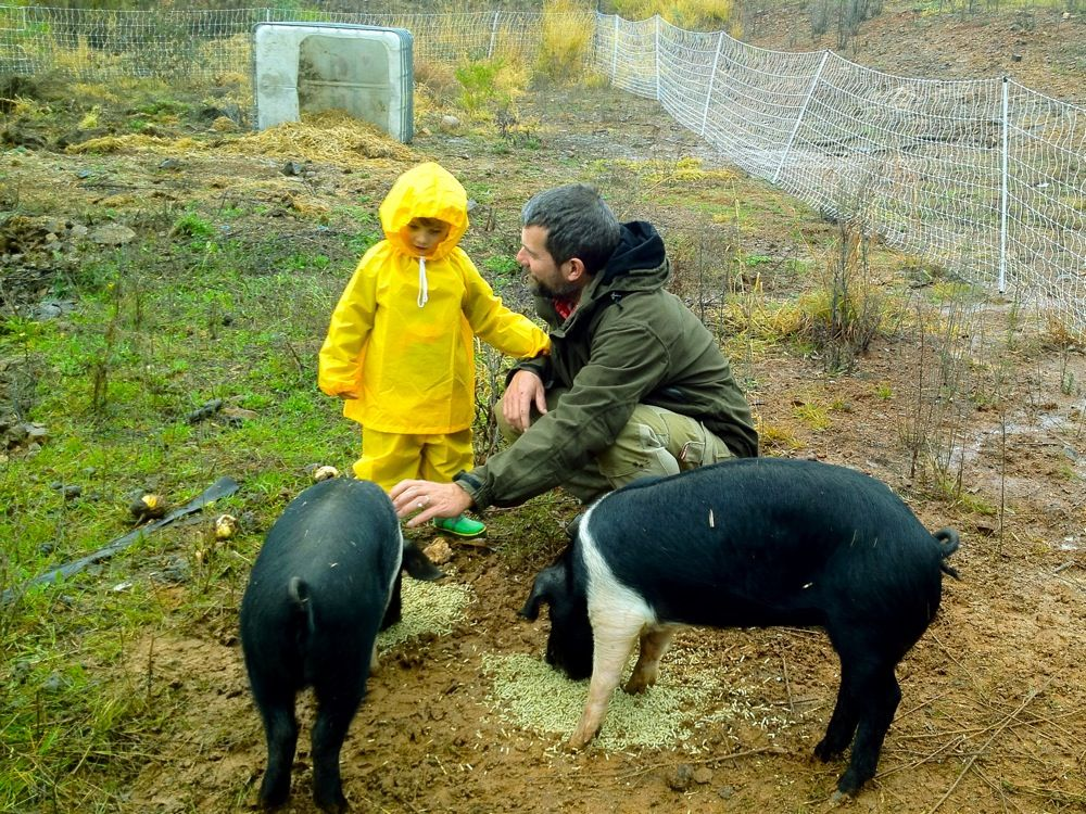 Prepping ground with permaculture pigs