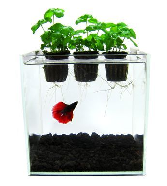 Aquaponics is a system where the waste produced by fish or other aquatic animals supplies nutrients for plants, which in turn purify the water.  Here plants and fish act together in an ecosystem providing benefits to each other, the fish enjoying clean naturally purified water and the plants growing from the waste produced by the fish.