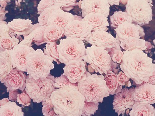 Gallery For Light Pink Roses Background Tumblr Vision And Mood