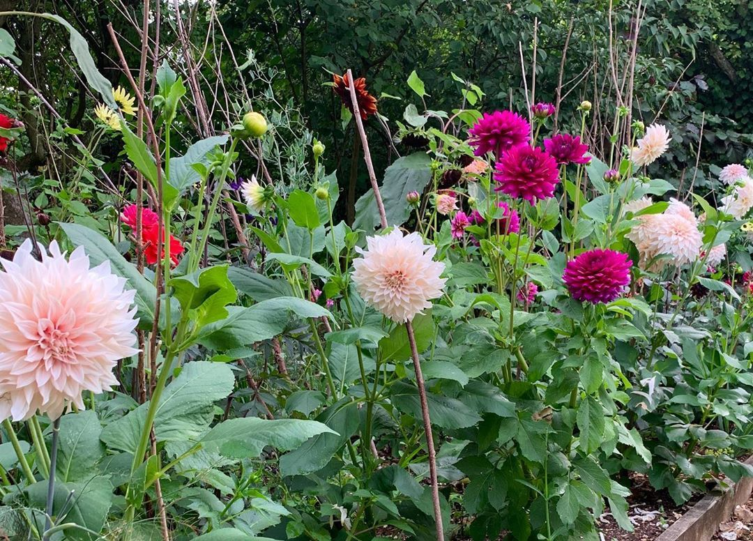 Growing Dahlias Quick Tips This Year I Decided To Devote A Special Area To Just Dahlias First Important Task Prepare The Soil Well I Did This I Resim