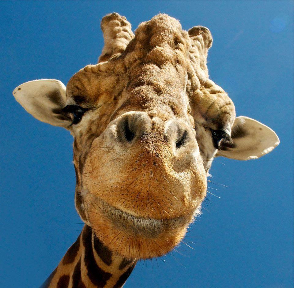Gorgeous close-up of a giraffe's face.  :)  <3