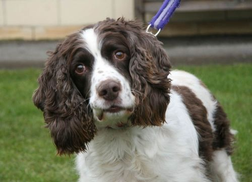 Springer Spaniel: Max at Bath Dogs Home