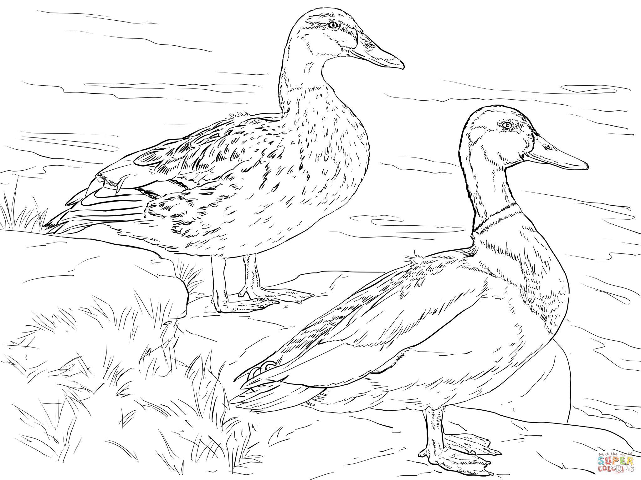 Male And Female Mallard Ducks Coloring Page Supercoloring Com