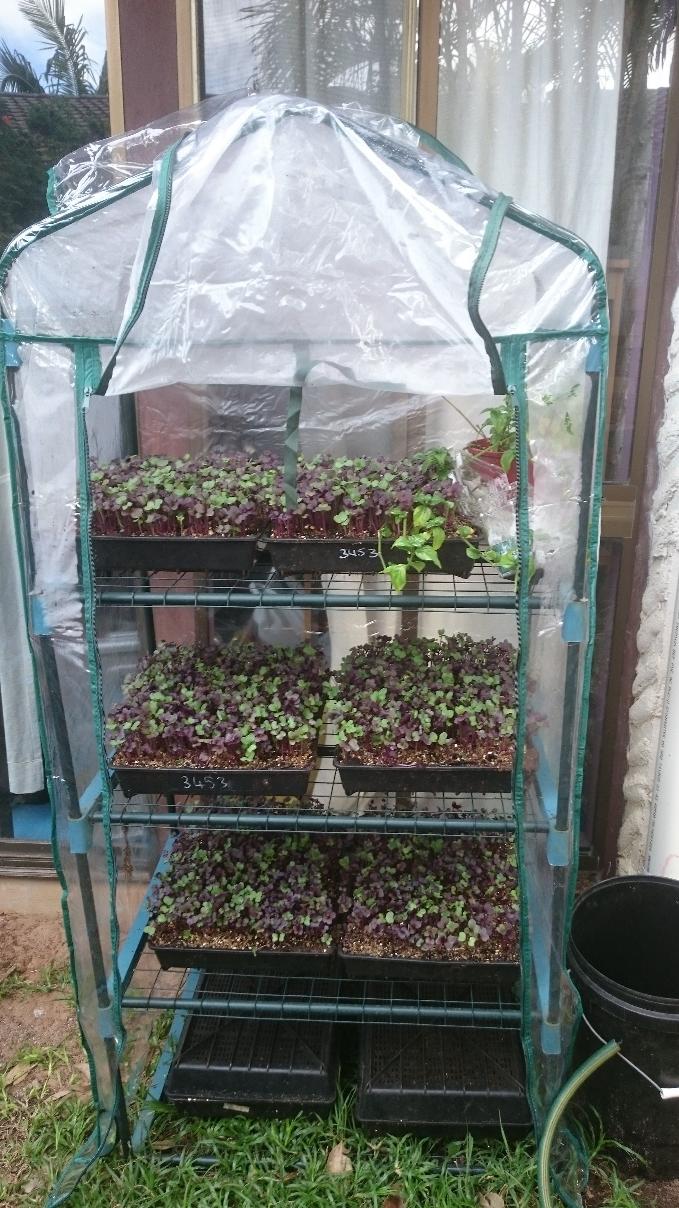 The greenhouse gold coast - Marty S Garden Mini Greenhouse For Microgreens Learn How To Grow Fresh Food In Urban Places