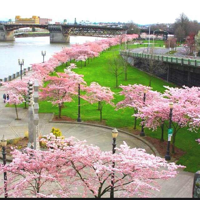Beautiful Places In Portland Oregon: Portland's Waterfront Park With Cherry Trees Blossoms